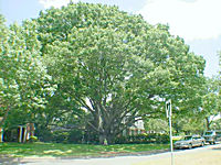 National Champion Texas Red Oak